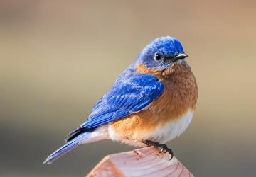 O pássaro azul
